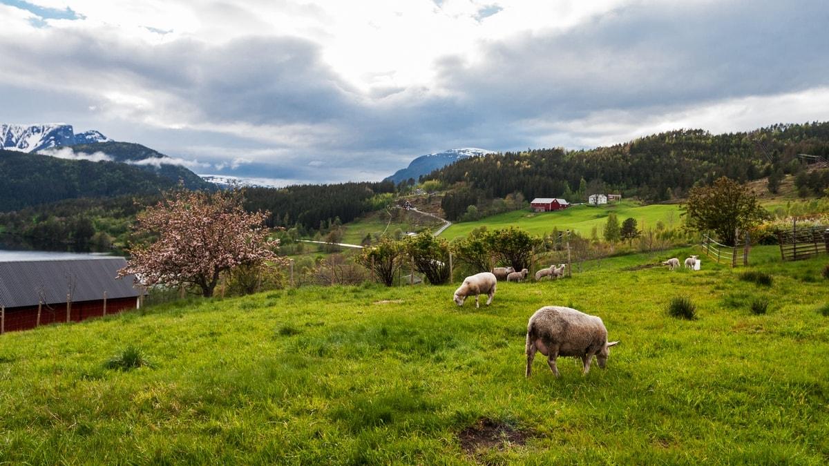 Atlantic Norway Road Trip - sheep