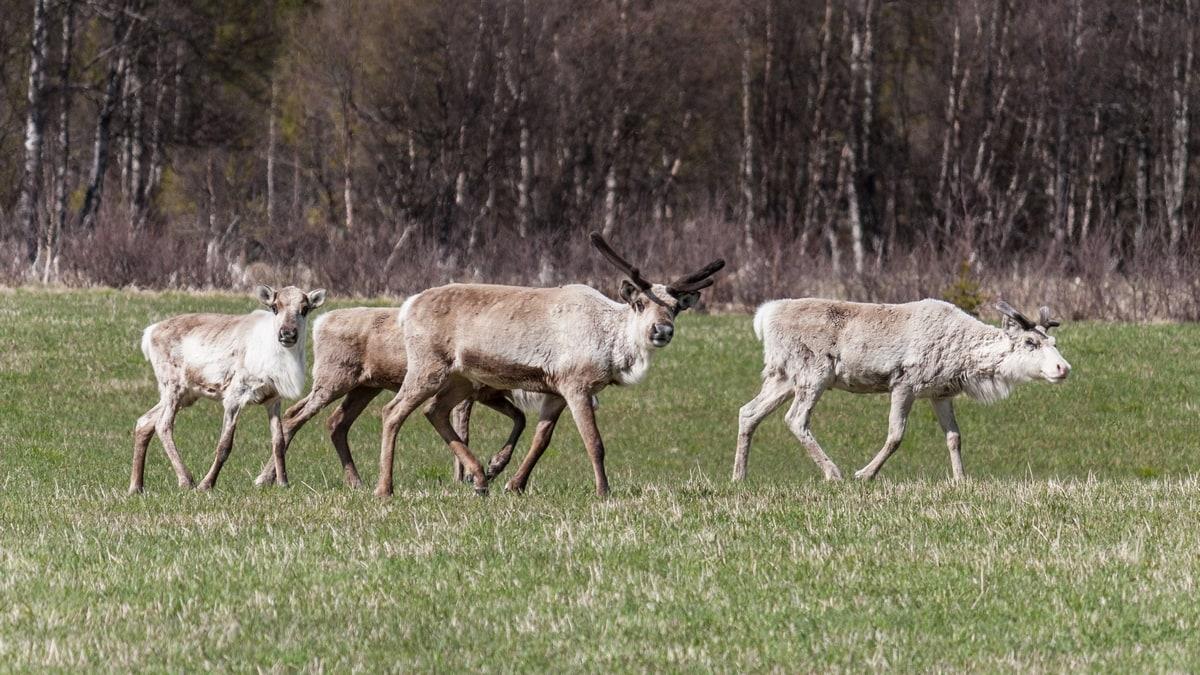 Atlantic Norway Road Trip - Reindeer