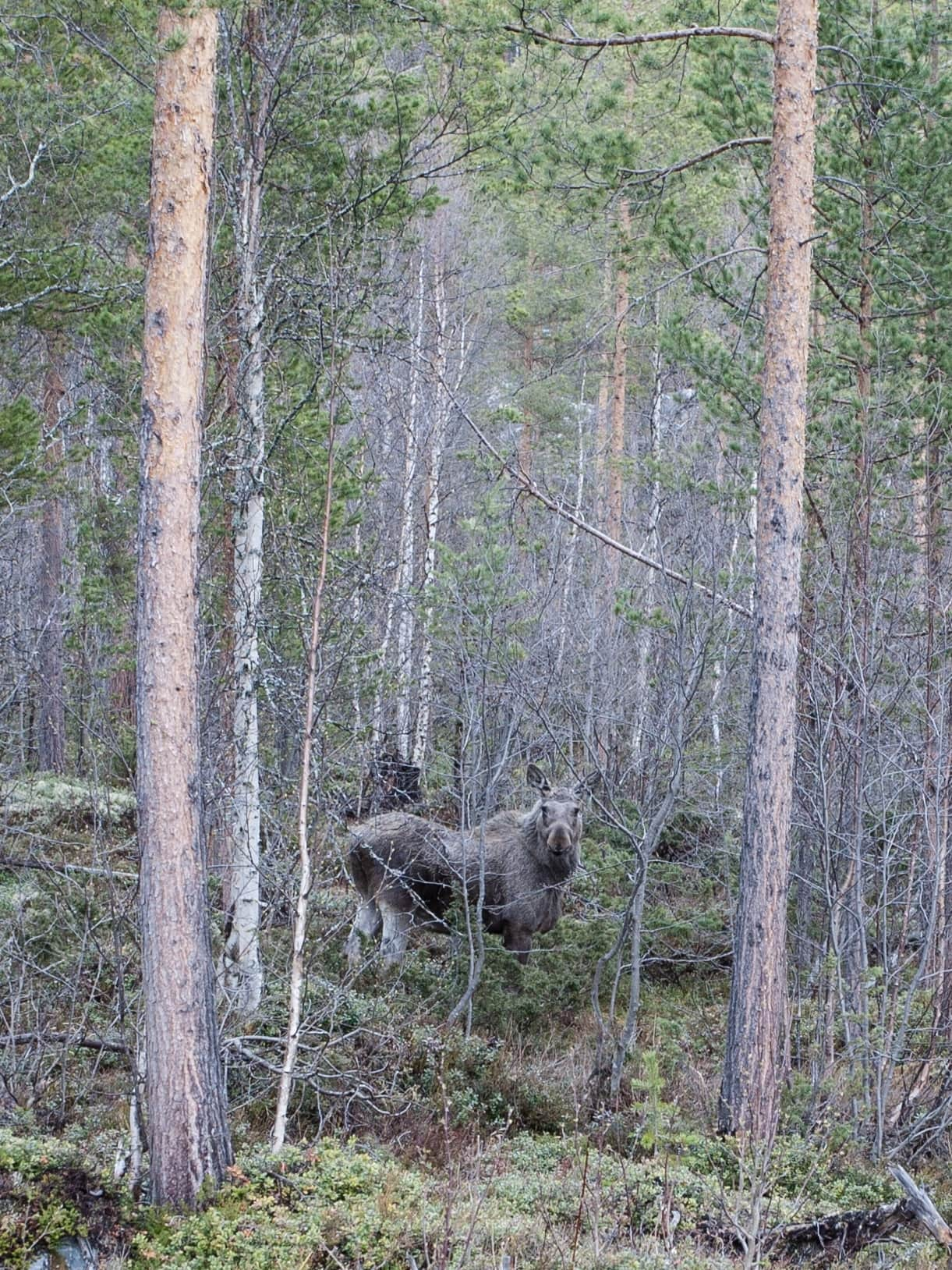 norway moose