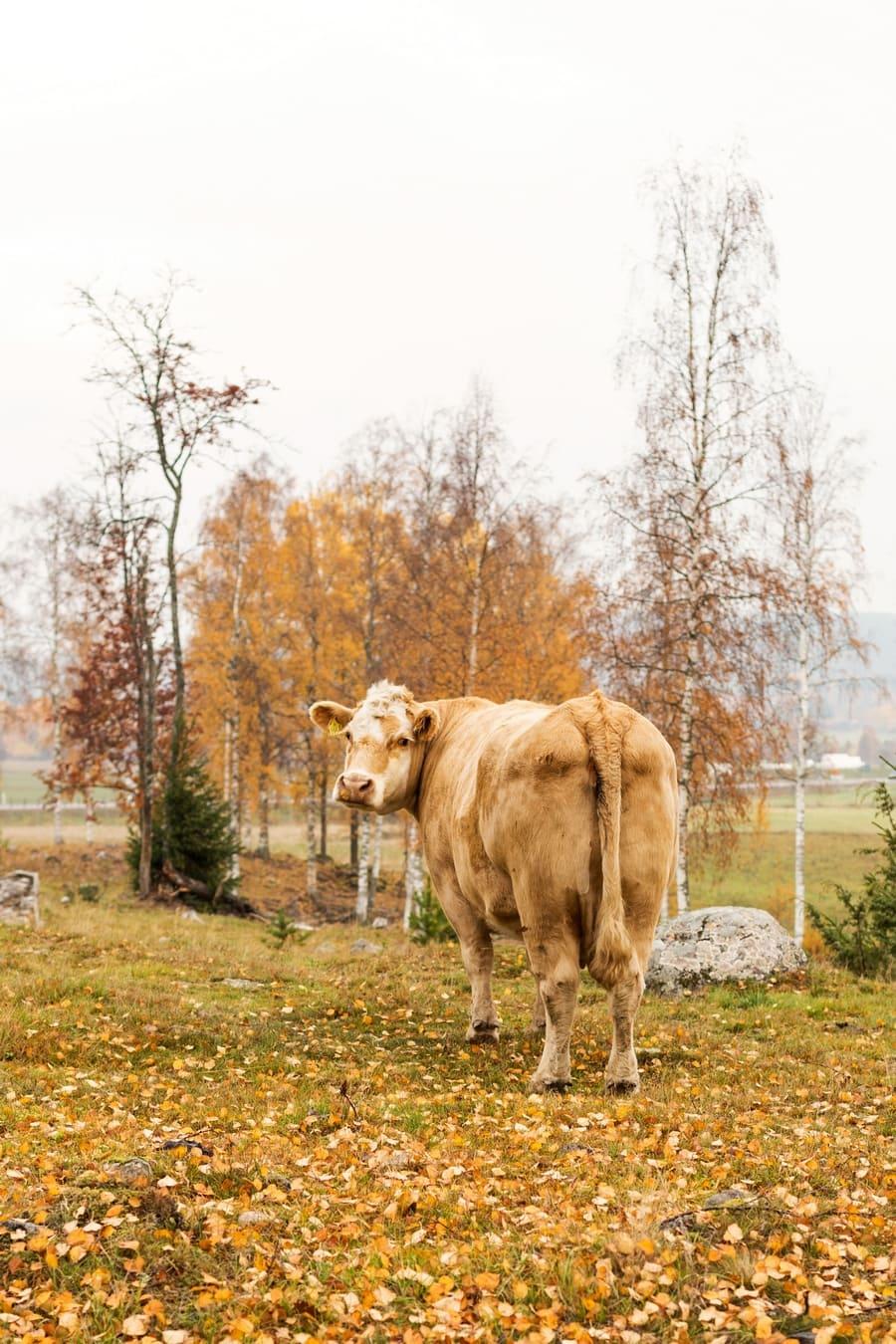 Cows at Murboannas Borlänge
